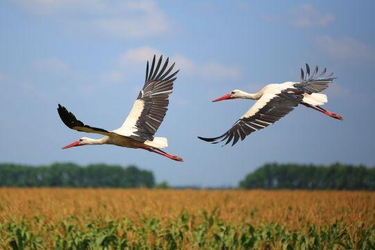 ptaki wiosenne bocian biały