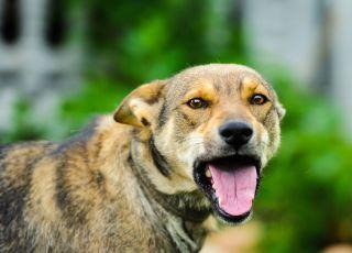 Groźne rasy psów