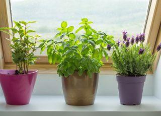 Rośliny odstraszające komary: mięta, lawenda