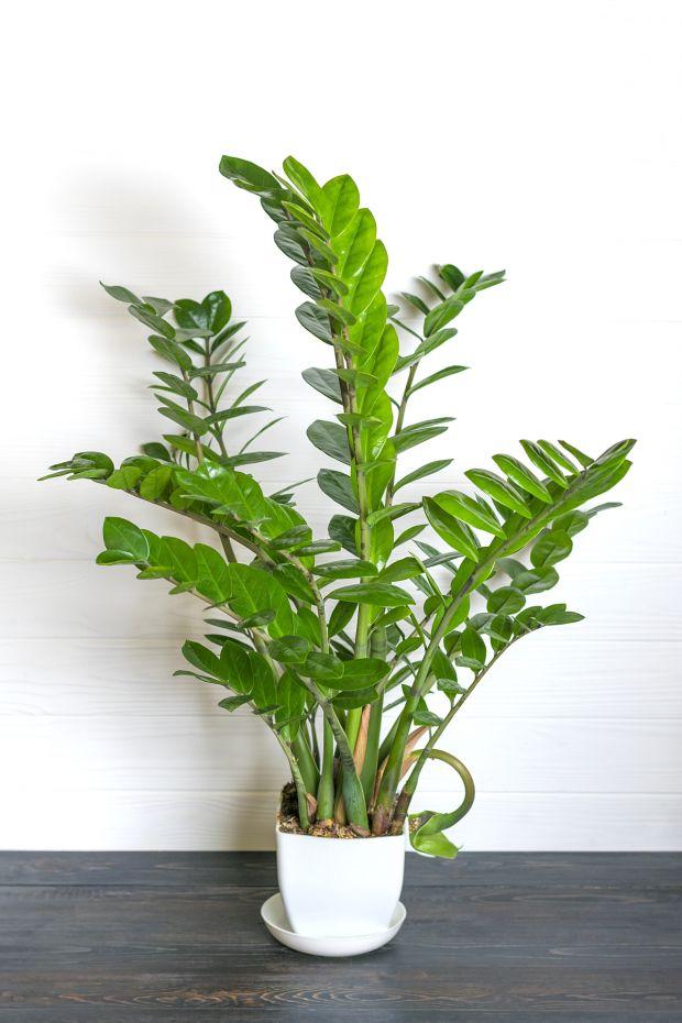Rośliny trujące - zamiokulkas