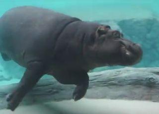 tańczący hipopotam z wrocławskiego Afrykarium