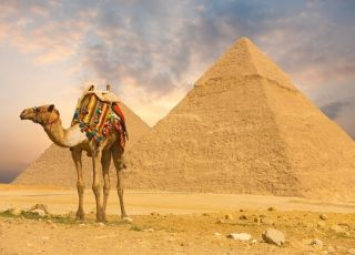 wielbłąd pod piramidami/ egipt