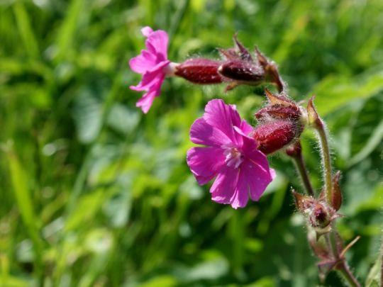 pierwsze kwiaty wiosenne bniec czerwony
