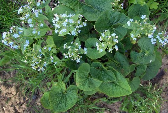wiosenne kwiaty brunnera