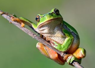 żaba kambo amazońska