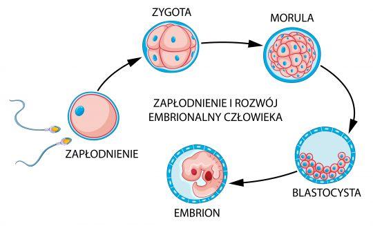 zagnieżdżenie zarodka etapy rozwoju embrionalnego