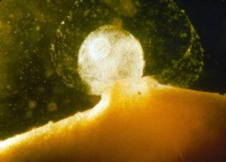 zapłodnienie, zdjęcia ciąży, owulacja, komórka jajowa, zarodek