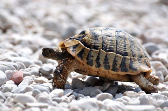 żółw domowy - żółw stepowy