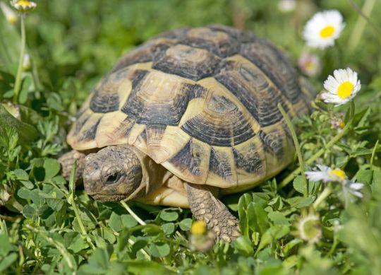 żółw domowy - żółw grecki