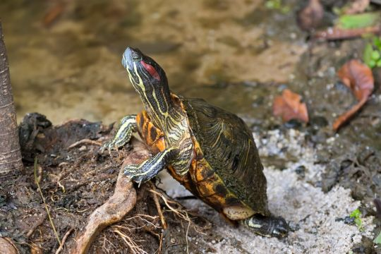 żółw domowy - żółw czerwonolicy