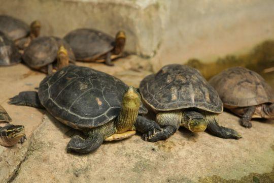 żółw domowy - żółw chiński
