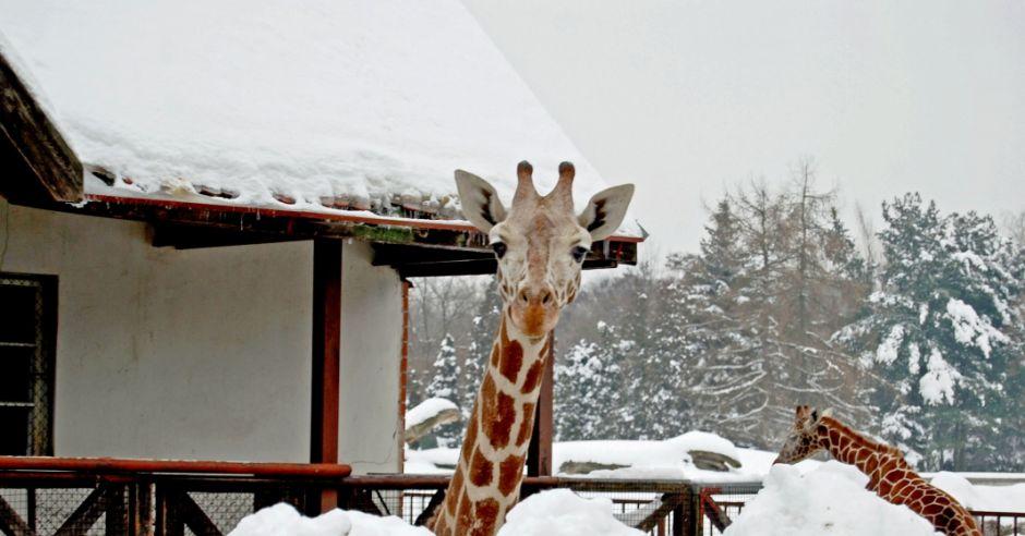 Żyrafa na śniegu