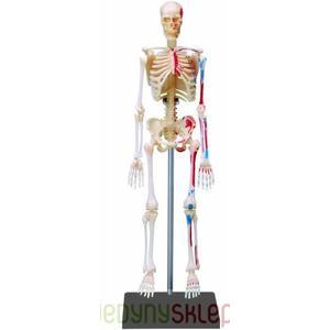 Anatomia Człowieka, Kościec marki Russell - zdjęcie nr 1 - Bangla